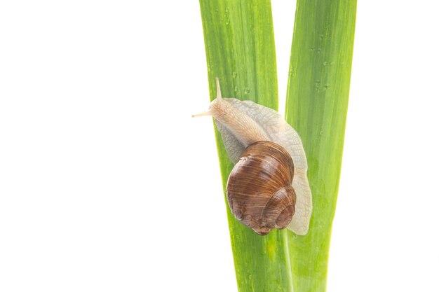 Виноградная улитка ползет по зеленым листьям. моллюски и беспозвоночные.