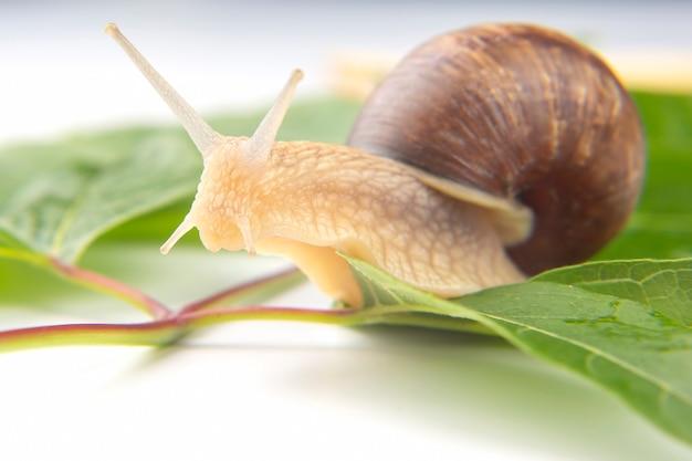 녹색 잎에 크롤 링하는 포도 달팽이