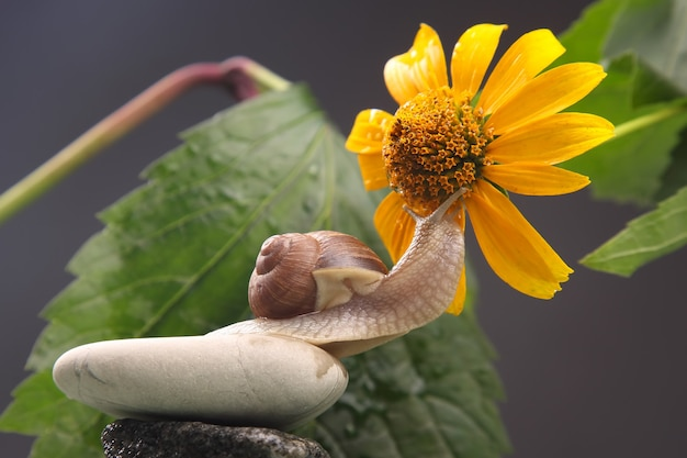 Grape snail crawling on a stone against a background of flowers. mollusc and invertebrate