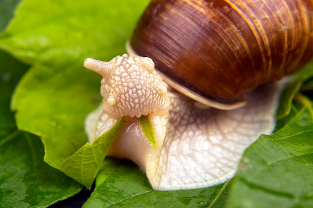 Grape snail eats green leaves