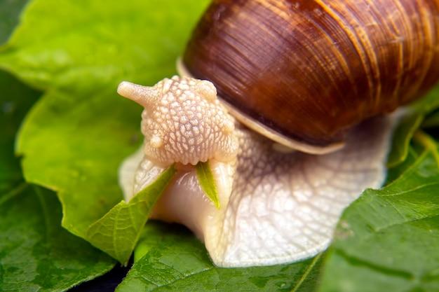 Grape snail eats green leaves