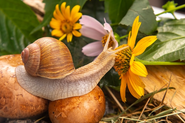 Grape snail is actively crawling in nature. mollusc and invertebrate. delicacy meat and gourmet food.