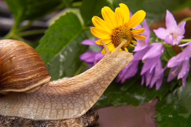 Grape snail is actively crawling in nature. mollusc and invertebrate.
