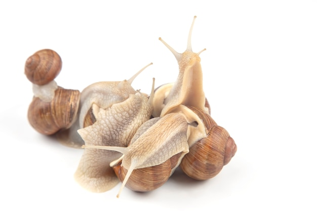 Grape snail,  mollusc and invertebrate. gourmet protein meat food. communication of the individual in society