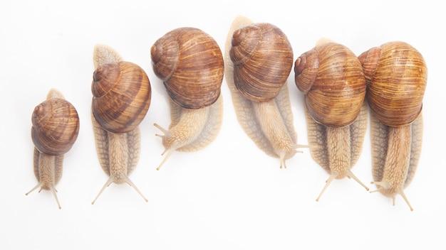 흰색 바탕에 포도 달팽이입니다. 연체 동물과 무척추 동물. 미식가 단백질 고기 음식.