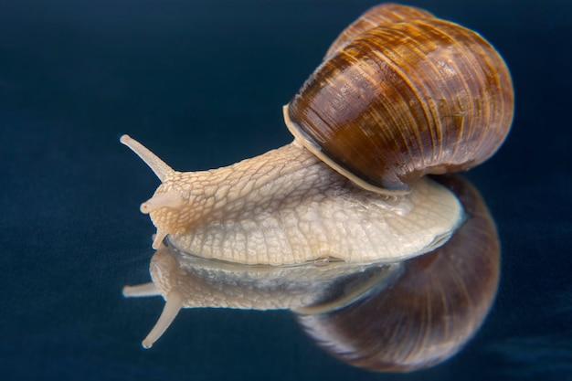 반사 표면에 포도 달팽이