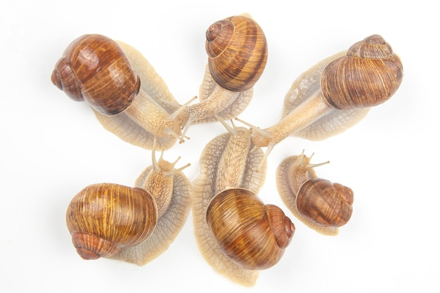 Grape snail on a white background. mollusc and invertebrate. gourmet protein meat food.