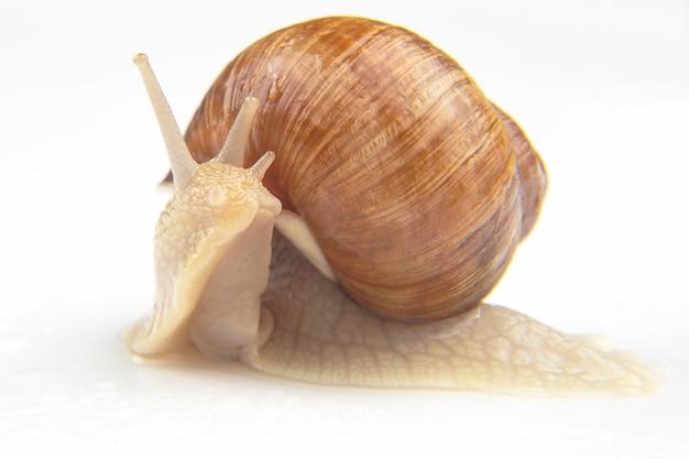 Grape snail on white
