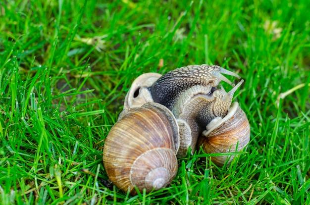 Grape snails on green grass.