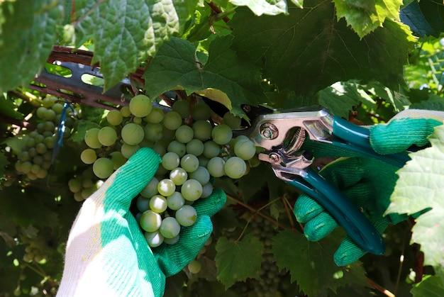 葡萄。農民の手は手袋でブドウを収穫します。庭でブドウを収穫し、ワインを造るというコンセプト。