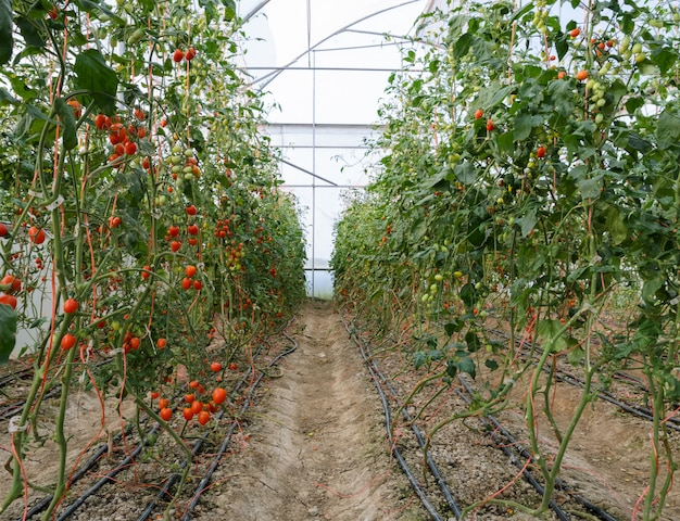 Grape tomato plantation