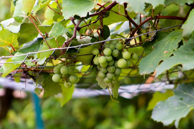 Grape vine climbing on trellis with hanging grapes