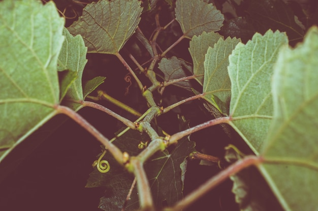 Grape vine growing at night