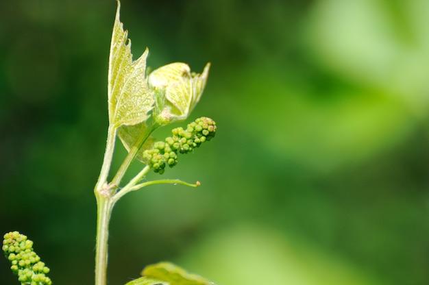 꽃과 꽃 봉오리에 포도 덩굴