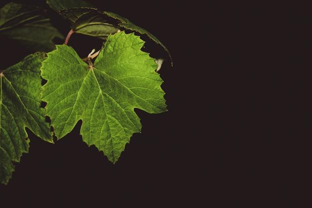 밤에 포도 덩굴 잎
