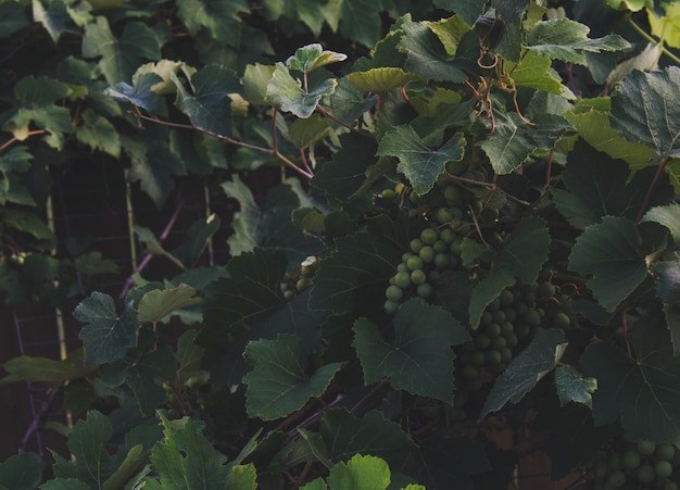 Grape vines with hanging grapes