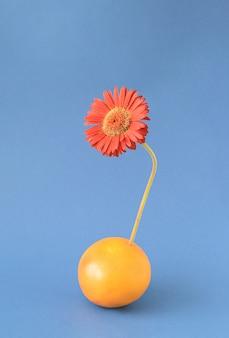 파란색 배경에 버건디 거베라 꽃이 나오는 자몽 감귤류 과일. 과일 꽃 여름 개념입니다. 초현실적 인 예술