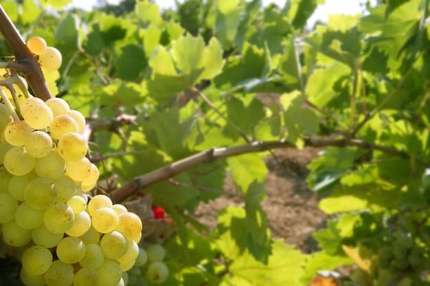 Grapefruit golden vineyard fields in summer