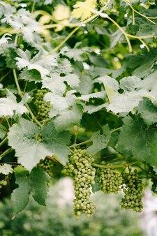 緑の葉のブドウの果実
