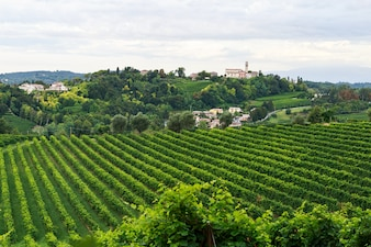Grapes growing in vineyards in Conegliano