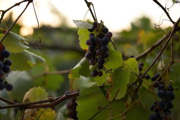 ブドウ自然緑の葉ビタミン有機