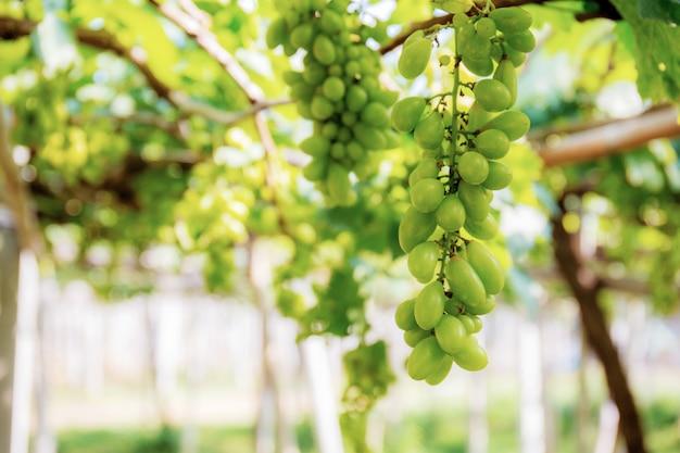 Grapes on tree in vineyard.