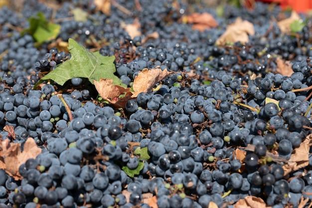 Grapes variety cabernet sauvignon
