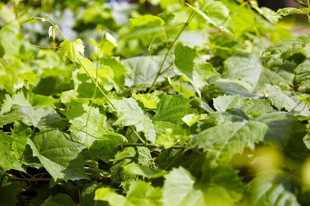 グレープバイン。ブドウの葉。緑の葉の背景