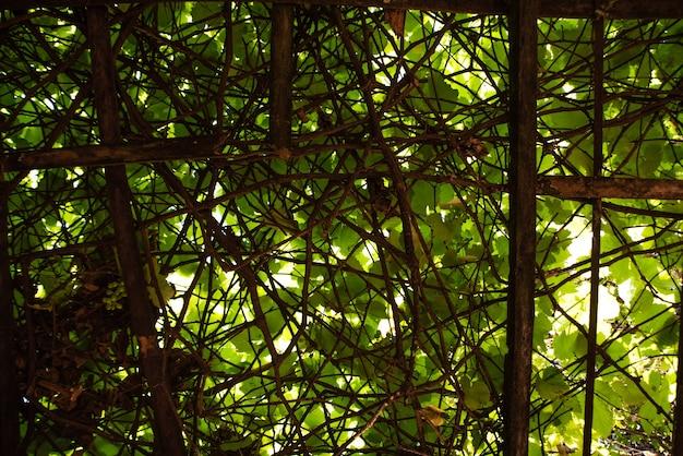自然な背景を形成する美しいブドウの木のブドウの葉。セレクティブフォーカス。