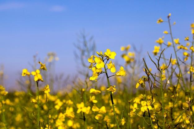 На графике растет в сельскохозяйственных полях цветок рапса, голубое небо на заднем плане