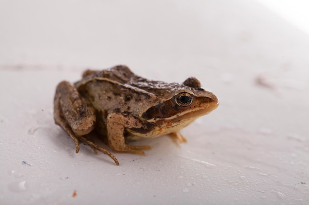 Grass brown frog sitting on a white background