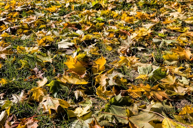 Grass and earth strewn with maple leaves torn off by the wind during the leaves, natural abstract background