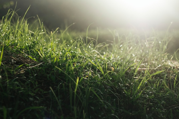 Grass field with dew in the morning