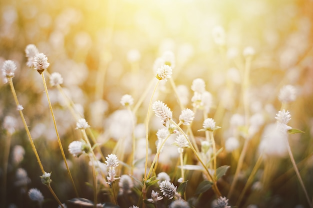 Grass flower ,close up soft focus a little wild flowers grass in sunrise and sunset background warm vintage tone photo