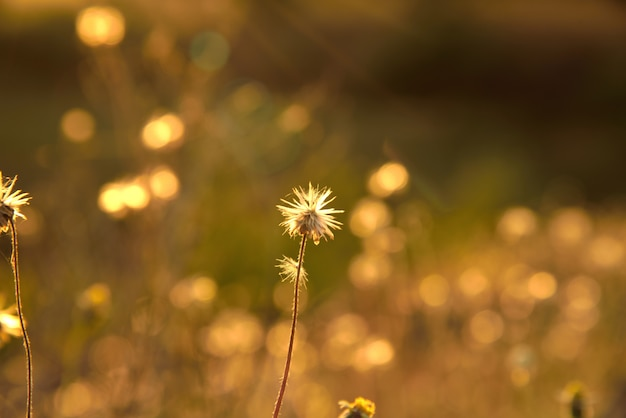Grass flowers is dry on brown background