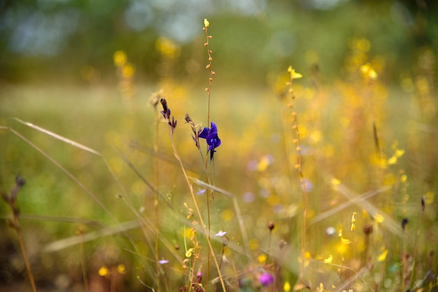 Grass flowers on nature in si mueang mai district, ubon ratchathani province, thailand