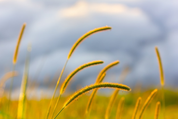 Grass flowers and sunlight in the morning in phu tubberk, thailand
