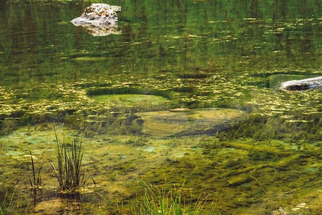Grass grow in calm clean water close up. bottom of swampy backwater of mountain lake with stones. trees reflected in ideal smooth water surface. green atmospheric natural background of highlands.