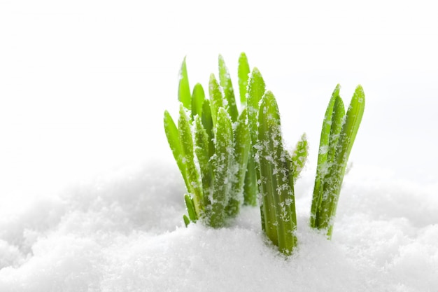 Grass growing in the snow