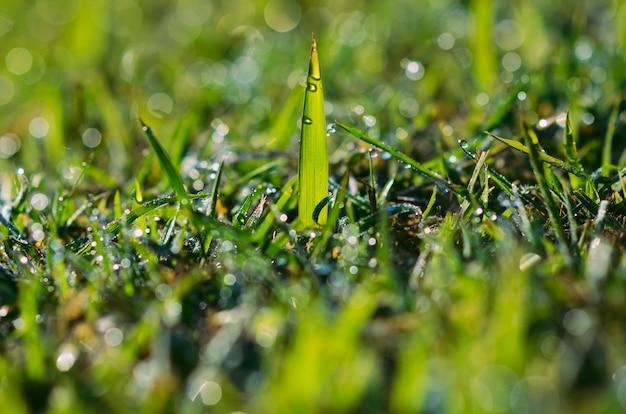 Трава растет на газоне с росой