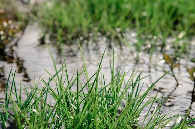 クリークの草。 Premium写真