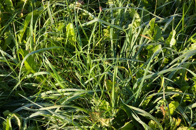 The grass is covered with drops of water and dew in the summer, the green color of the weed grass plant