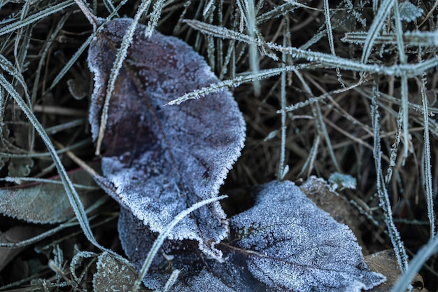 Grass and leaves were frozen with morning frost in the light of the rising sun in the early, cold morning.