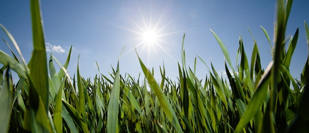 Низкий угол травы с солнцем, сияющим солнечными лучами