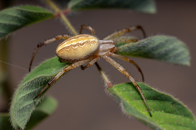 Grass neoscona spider of the species neoscona moreli