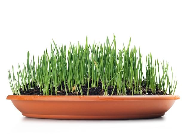プレートで育てられた小麦の草。