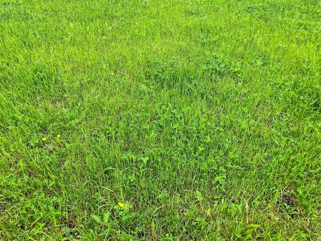 잔디밭에 잔디. 잔디의 녹색 배경입니다. 자연의 배경입니다. 육즙이 많은 푸른 잔디. 신선한 카펫 잔디입니다. 필드에 질감 녹색 잔디입니다. 패턴 녹지. 원활한 자연 질감입니다. 텍스트 또는 로고를 위한 공간