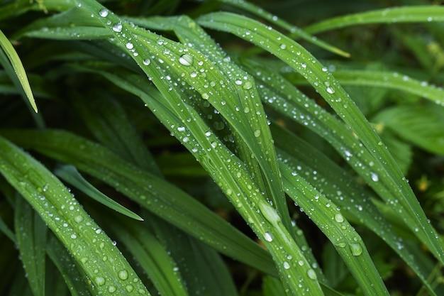 雨上がりの水滴のあるグラスセッジ。