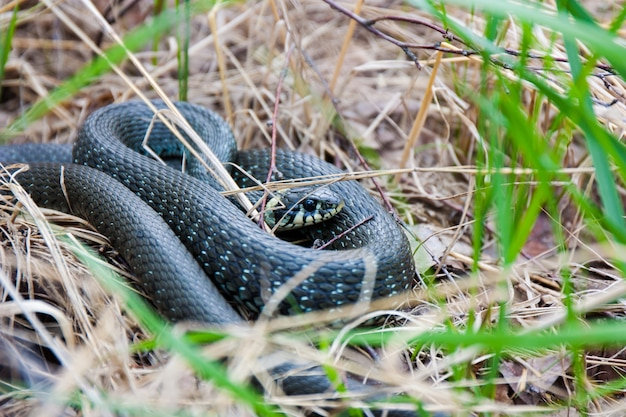Grass-snake laying in the yellow dry grass