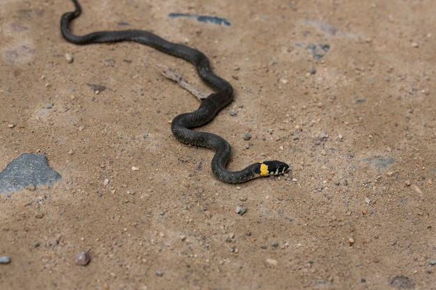 Змея травы на песчаной проселочной дороге в лесу. натрикс натрикс